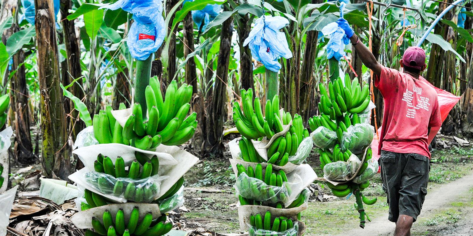 bananaagriculture